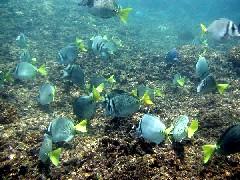 Hay algunas placas de coral gigantes en Huatulco (Foto por Ty)